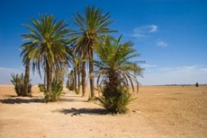 Palms-in-the-desert--morocco